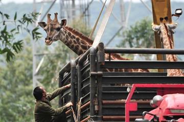 云南长颈鹿搬家 吊车卡车齐上阵