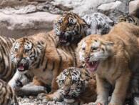 济南野生动物世界12只小老虎集体亮相