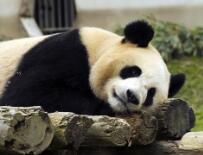 四川卧龙神树坪基地大熊猫的安逸秋日生活