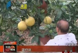 蜜柚迎来丰收季 销路不畅果农急 2017-10-26