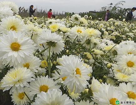 如果你只知道杭菊你就out了,潮汕地区也有种植菊花的名产地