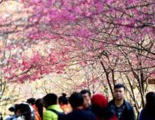 福州樱花浪漫