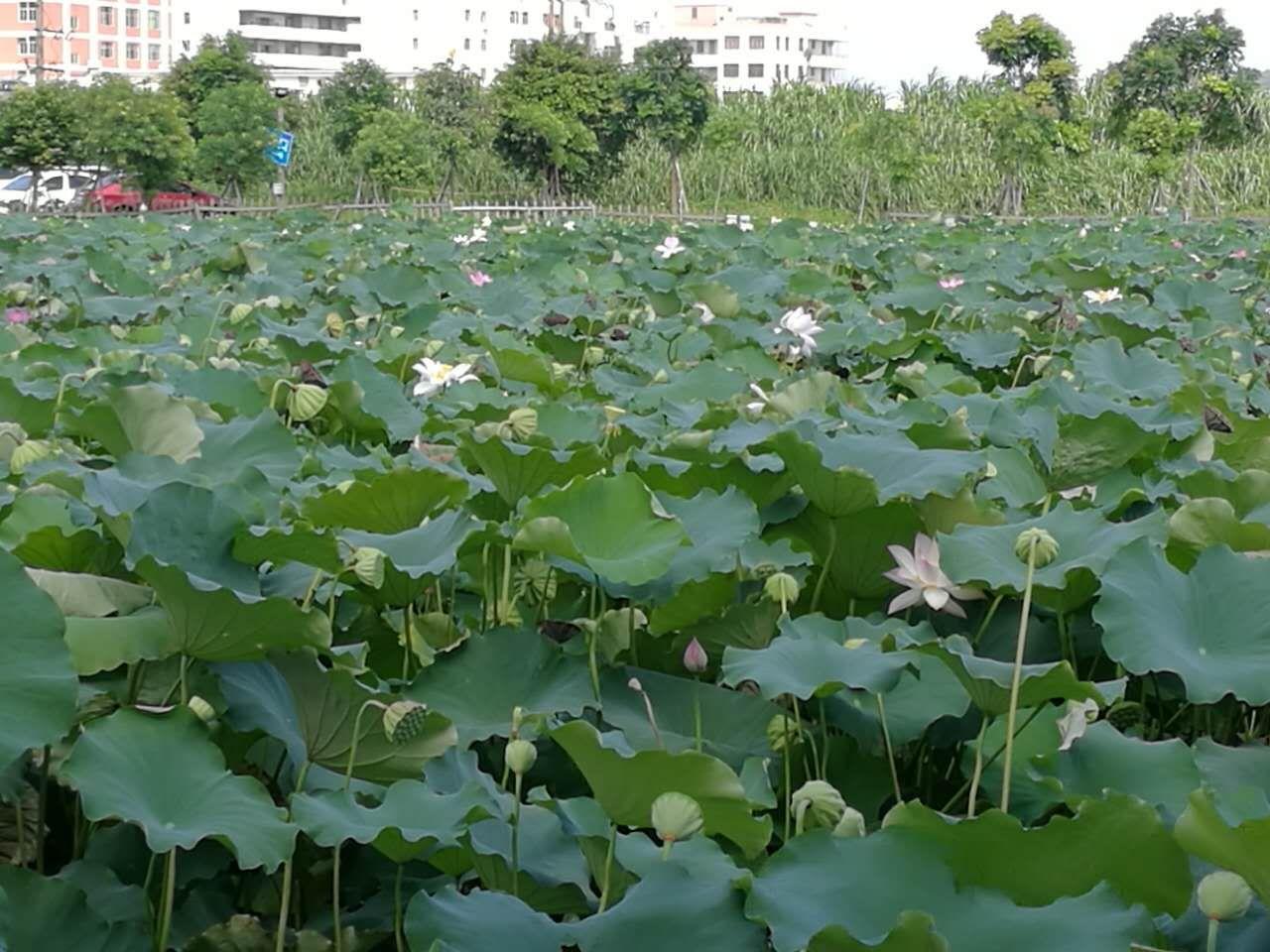 """映日荷花别样红  """"绿梦""""湿地可赏荷"""