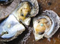 下次再来!男子餐厅吃牡蛎意外收获4000美元大珍珠