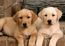 拉布拉多人气高 第28年蝉联美国最受欢迎犬种