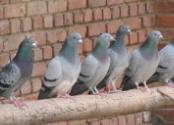 """六旬老人养鸽子患上""""鹦鹉热"""" 多脏器功能衰竭"""