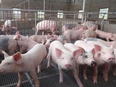今年1月份全国生猪生产稳步恢复